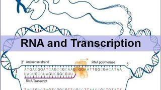 RNA And Transcription (updated)