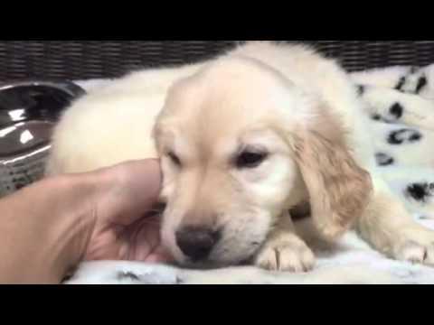 Light cream, Stud! Golden puppy