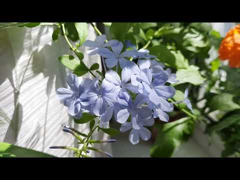 Комнатные растения/цветы, экзотические и не очень. Обзор. Цветущие растения