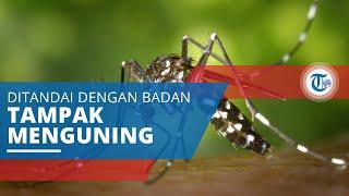 Demam Kuning, Disebabkan oleh Virus Genus Flavivirus dan Disebarkan oleh Nyamuk Aedes Aegypti