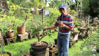 Tropical bonsai trees for beginners