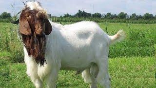 انواع الماعز و اسمائها