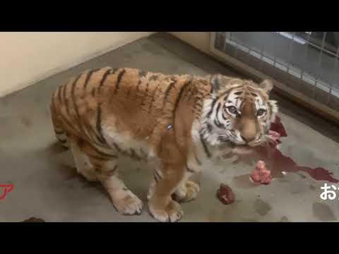 アムールトラ(ココア)とライオン(ゆうひ、ゆうき)+おまけのお食事タイム