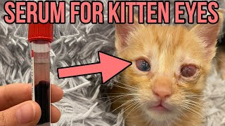 Using Serum from Donated Cat Blood to Help Save a Blind Kitten's Eye