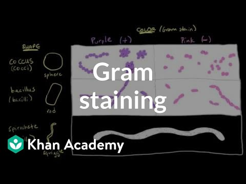 Video Bacterial characteristics - Gram staining | Cells | MCAT | Khan Academy