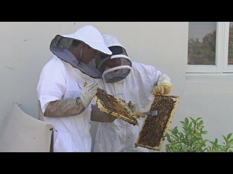 В австралийском городе Перт - бум пчеловодства  (новости)