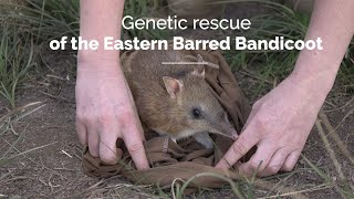 Genetic rescue for the conservation of the Eastern barred bandicoot