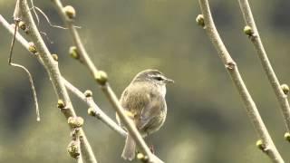 Japanese Bush Warbler - Cettia Diphone
