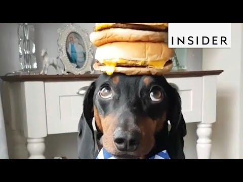 Patient Dachshund has Incredible Balance and Tolerance