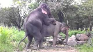 Elephant Mating Reached 10Millions Views on YouTube