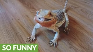 Bearded dragon goes crazy for blueberries