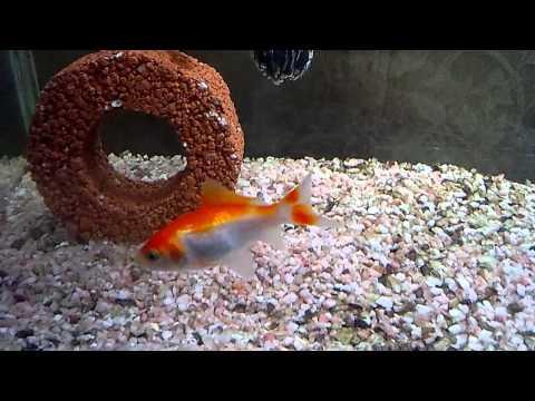庄内金魚2