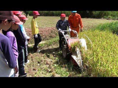 種子島の学校活動:国上小学校もち米刈り取り学習体験2019年