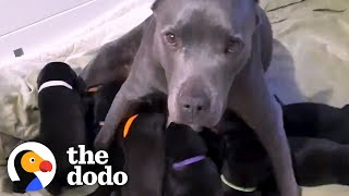 Pregnant Pittie Rescued From Chain Has 13 Puppies | The Dodo Pittie Nation