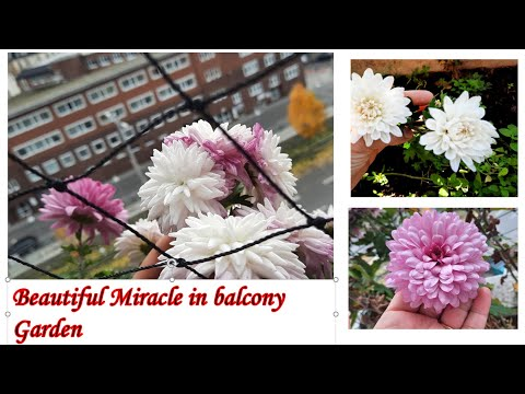 , title : 'Beautiful miracle in my Small Balcony Garden II Beautiful Flowers