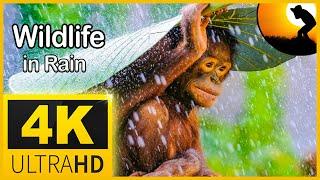 4K Wildlife Animals in Rain , Relaxing Music & Soft Rain Sounds: Relaxing Piano Music