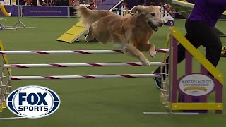 'Punk' the Golden Retriever captures 24 inch class title | FOX SPORTS