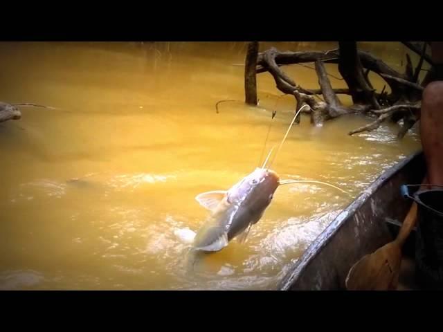 Mancing-mania-ikan-baung-terbesar