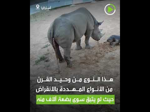 العرب اليوم - شاهد: ولادة وحيد قرن أسود نادر في حديقة حيوان أسترالية
