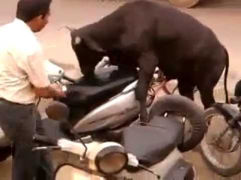 girl fuck cow bull