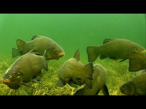 Undervandsoptagelse af store sudere og aborrer