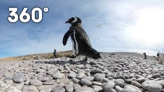 Penguins sunbathing: Argentinian sea habitat 360 | Animals with Cameras | Earth Unplugged