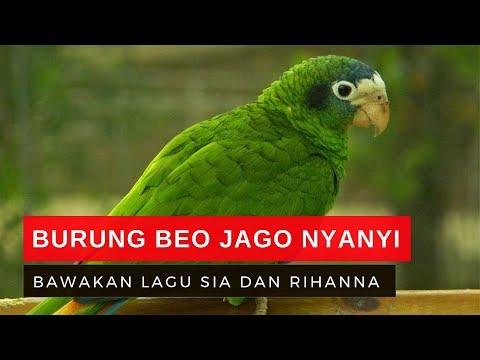 Lucu! Burung Beo Pintar Nyanyikan Lagu Chandelier