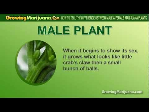 How To Tell The Difference Between Male & Female Marijuana Plants