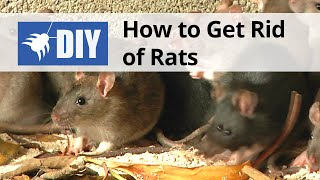 How to Get Rid of Rats | DoMyOwn.com