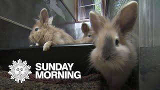 Vaccinating bunnies