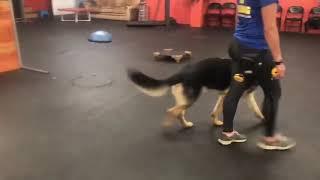 Dog Reactive Dog | Dog Training Progress