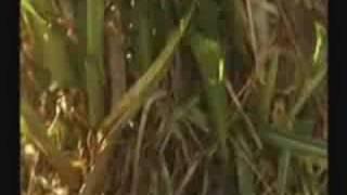 Tanaman Rumput Napier Taiwan-Bisnes Plg Untung.siri/3