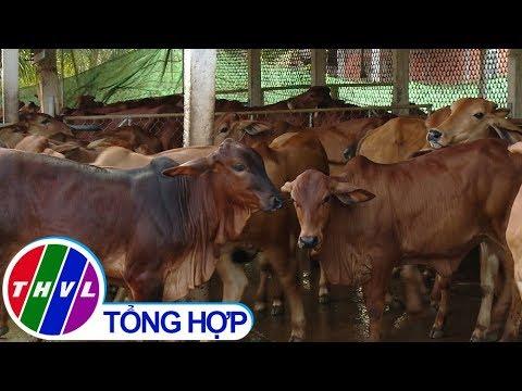 THVL | Nông nghiệp bền vững: Ba Tri xây dựng thương hiệu bò