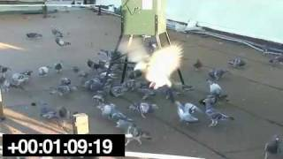 Pigeons Eating OvoControl at an Automatic Feeder