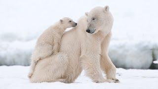HD:The life to polar bear.