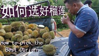 挑选马来西亚霹雳州的山榴莲  Durian Perak