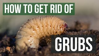 How to Get Rid of Grubs Guaranteed (4 Easy Steps)