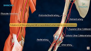 Anatomy of Brachial Artery - Origin , Course , Branches and Relations - USMLE , FMGE and Neet PG