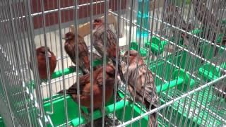 Wystawa kanarków i ptaków egzotycznych w Krośnie