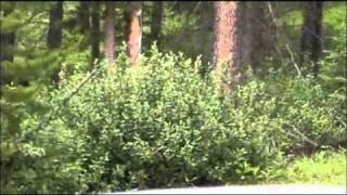 Bären-Beobachtung im Nationalpark (Kanada)