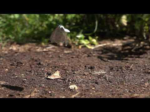 庭のルリシジミの飛翔