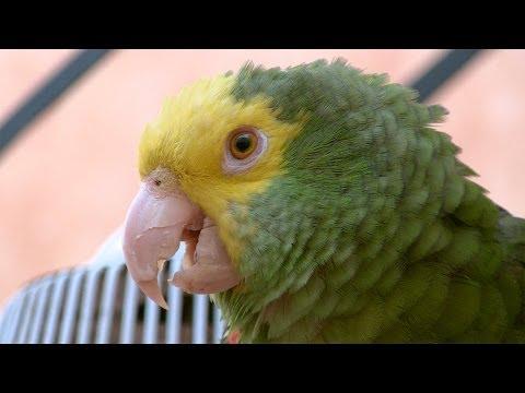 Cotorro Hablador, Loro Cabeza Amarilla, Talking Mexican Parrot