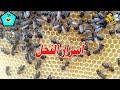 أسرار النحل العجيبة   كيف يخبر النحل بعضه البعض عن مكان وجود الرحيق