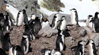 A lone Macaroni Penguin in a Chinstrap Penguin Colony