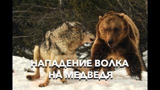 Нападение волков на медведей. Польша. Nadleśnictwo Baligród. 23.12.17