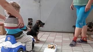 Очень активные щенки немецкой овчарки, 2 мес. Одесса.