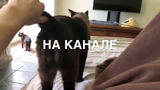01.06.2018 НА канале ВАЛЕНТИНА АЙВЛЕНТИ =^..^=  СИАМСКИЕ КОШКИ