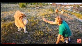 УДИВИТЕЛЬНОЕ   РЯДОМ !  Человек  кормит льва и отгоняет остальных львов  от него ! Тайган .Крым