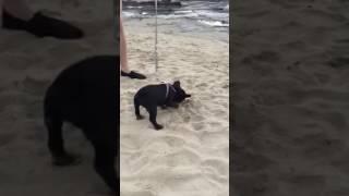 animale faza French Bulldog