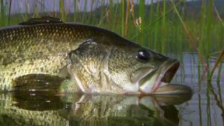 Bass Fly Fishing By Todd Moen
